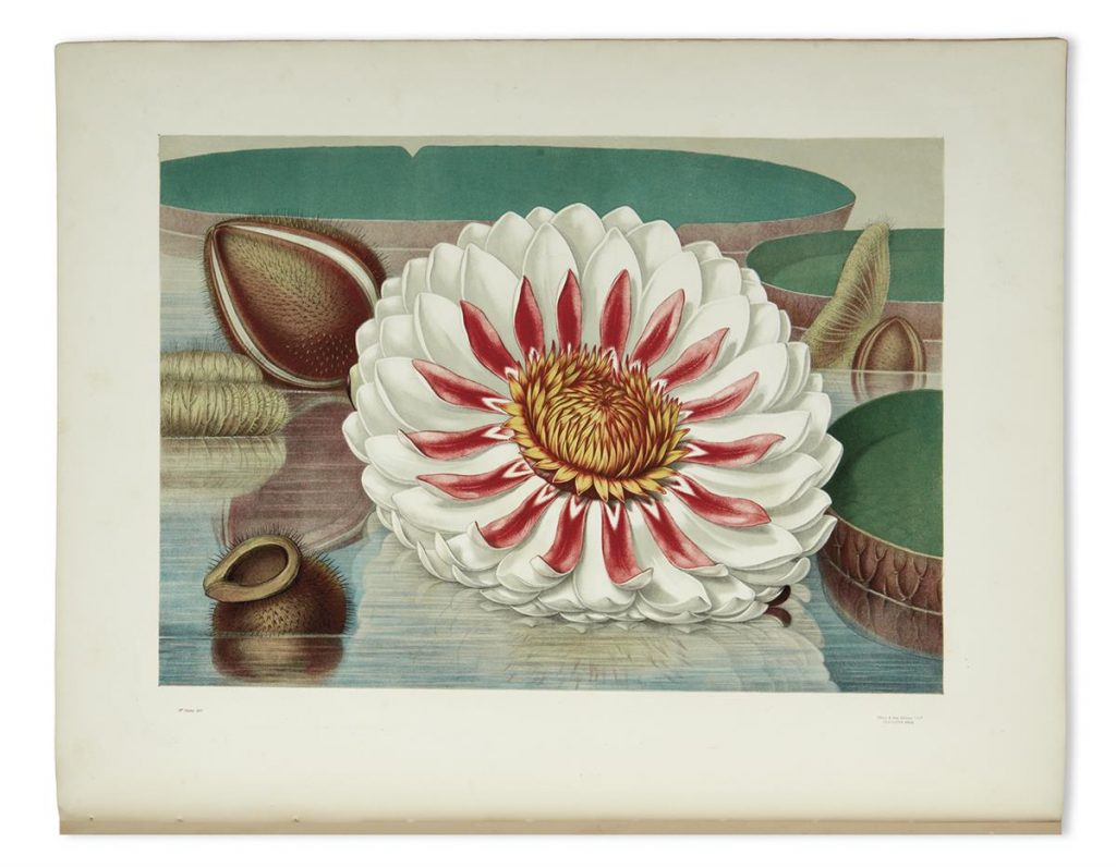 A chromolithograph image of the Great Water Lily of America by John Fisk Allen and William Sharp.