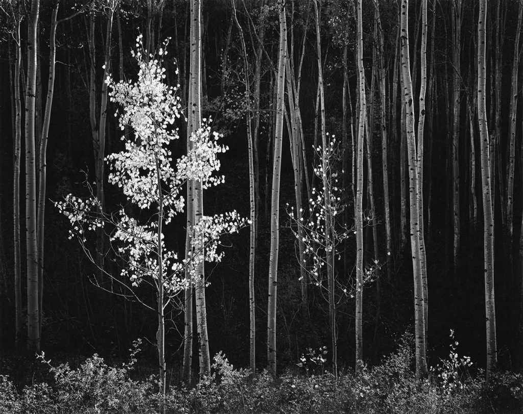 ot 145: Ansel Adams, Aspens, Northern New Mexico, silver print, 1958, printed 1978. $20,000 to $30,000.